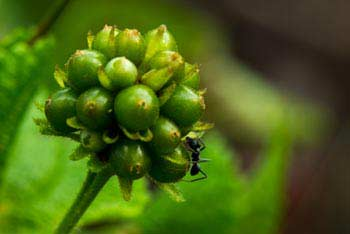 Ant With Flower Buds