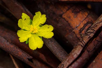 Yellow Flower & Bark