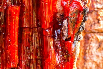Closeup Of Some Red Sap